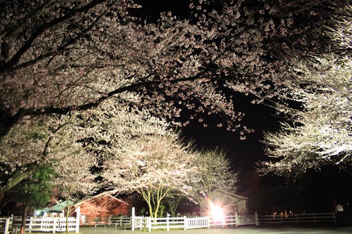 成田ゆめ牧場で夜桜2018のライトアップの日程や時間は?インスタばえの撮影スポットは?